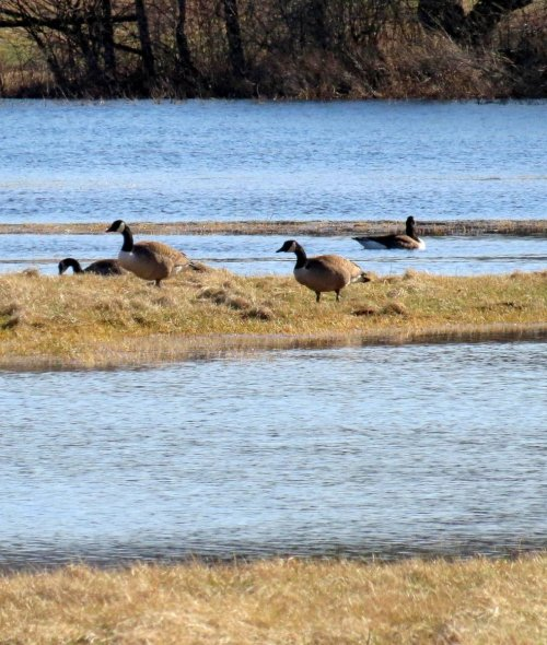 14. Canada Geese