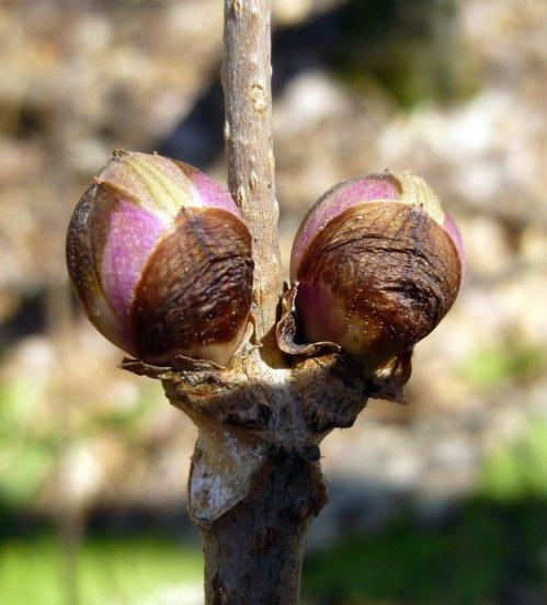 14. Elderberry Buds