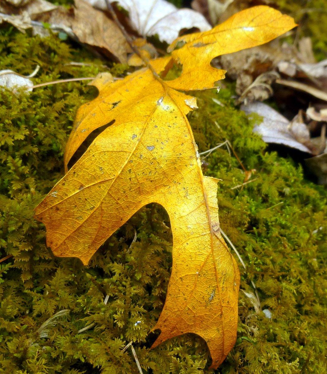 14. Orange Oak Leaf