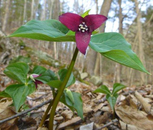 14. Purple Trillium