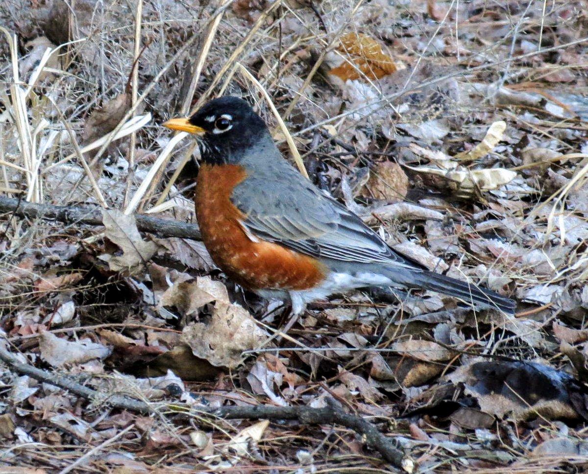 14..Robin