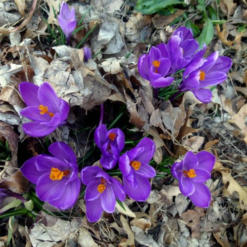 2. Deep Purple Crocus