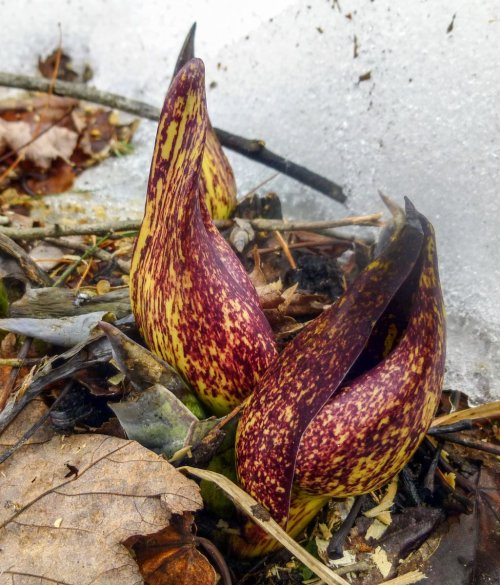 2. Skunk Cabbage Opening