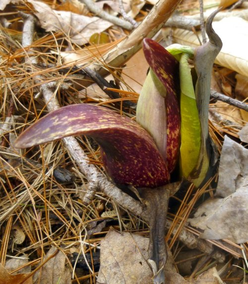 3. Skunk Cabbage With Leaf