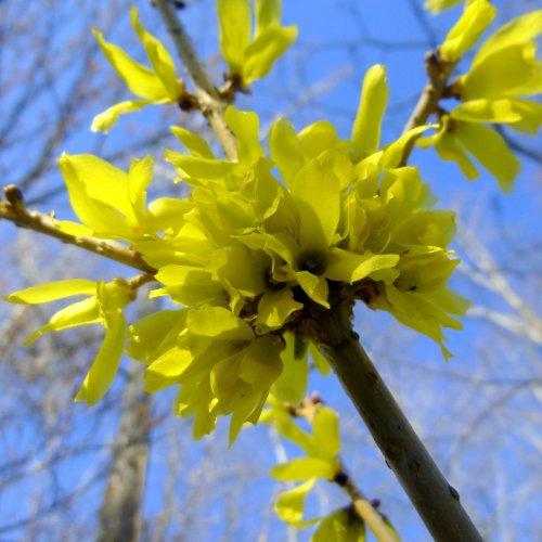 4. Forsythia Blossoms