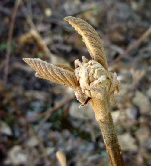 4. Hobblebush Bud