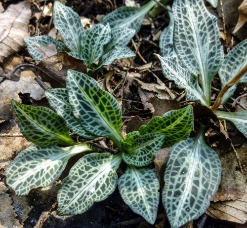 5. Downy Rattlesnake Plantain Orchid