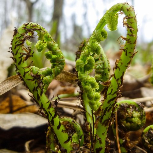 5. Lady Fern Fiddleheads (2)
