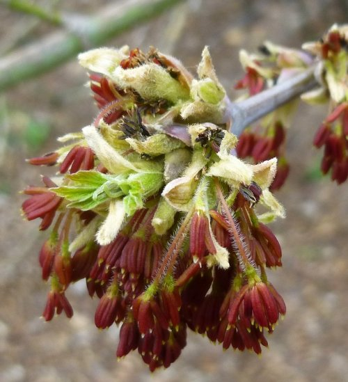 6. Box Elder Flowers