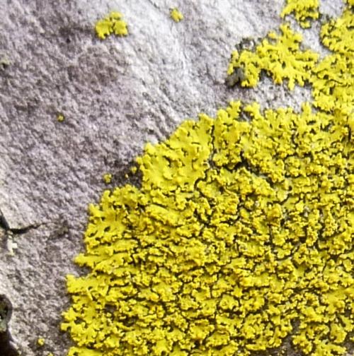 6. Candleflame Lichen aka Candelaria concolor