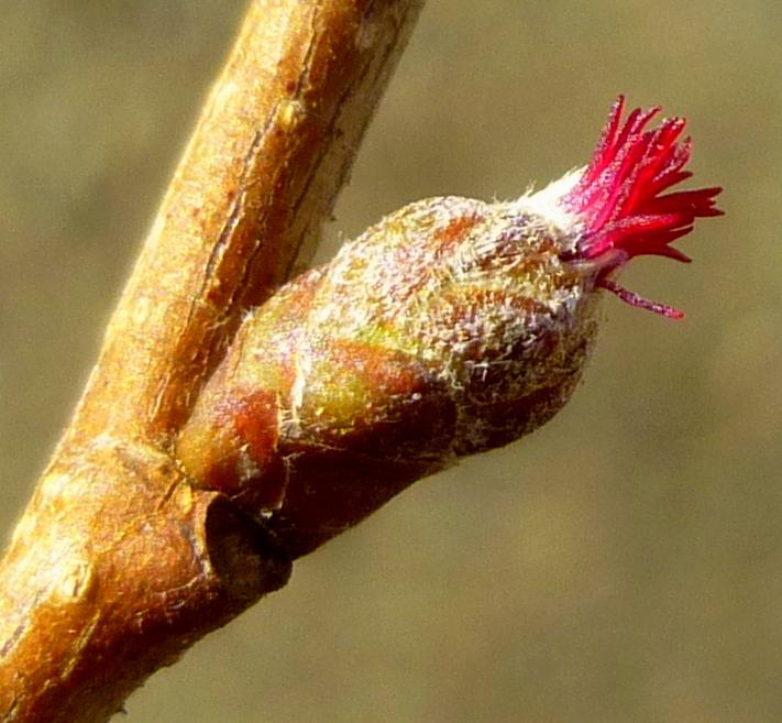 6. Female Hazel Flowers
