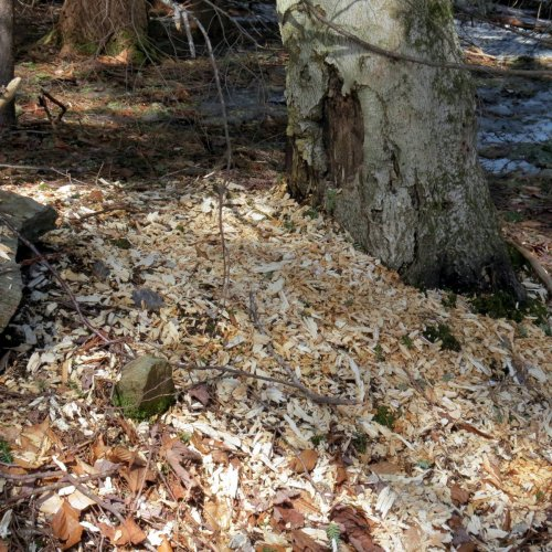 7. Pileated Woodpecker Chips