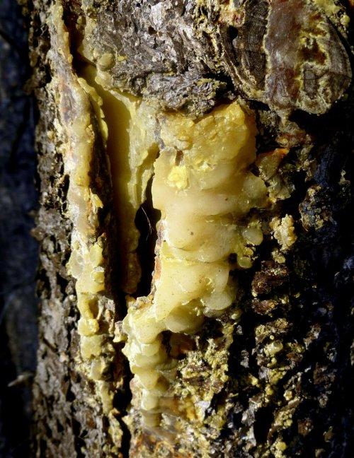 7. Spruce Gum