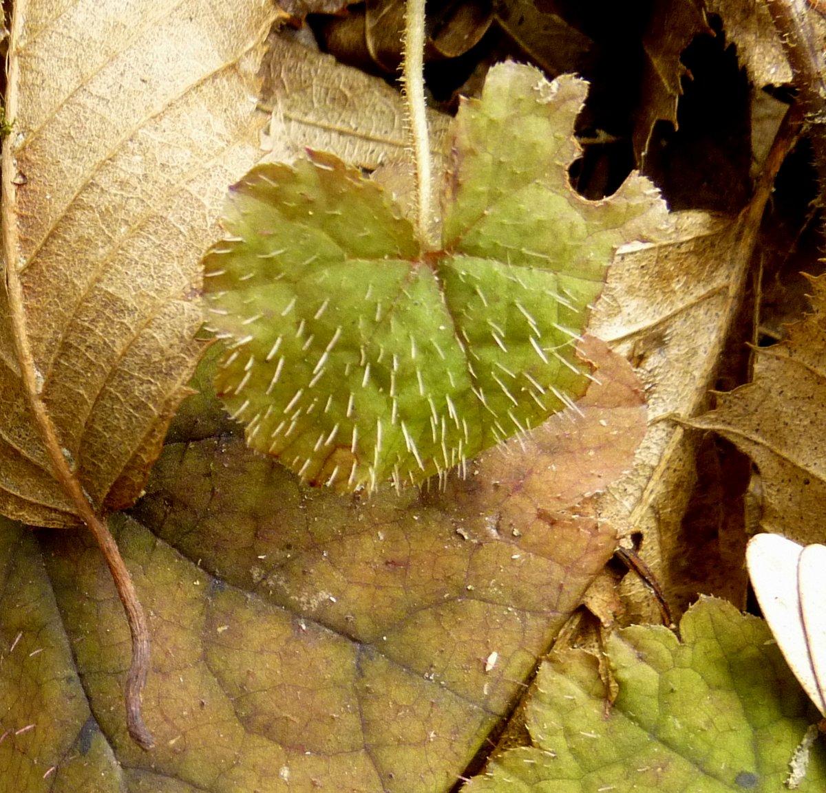 7. Young Foamflower Leaf