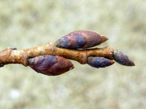 8. Elm Buds 2