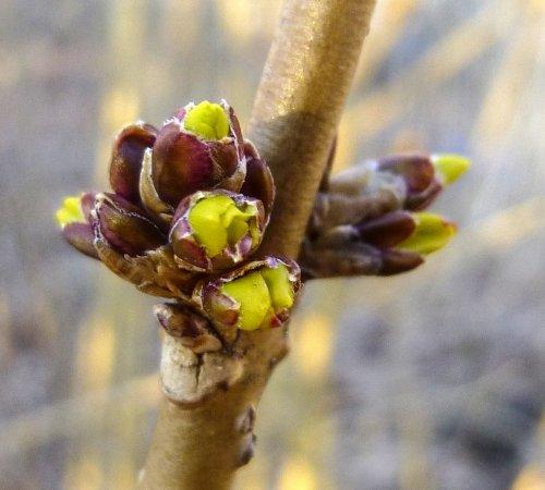 8. Forsythia Buds