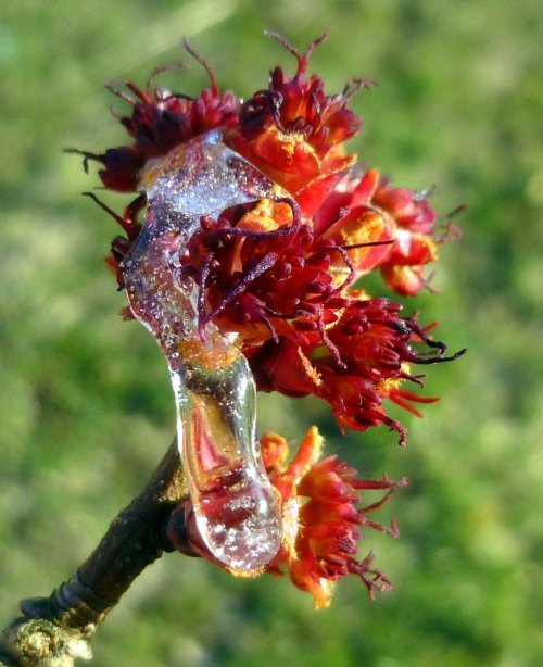 8. Ice on Red Maple Flowers