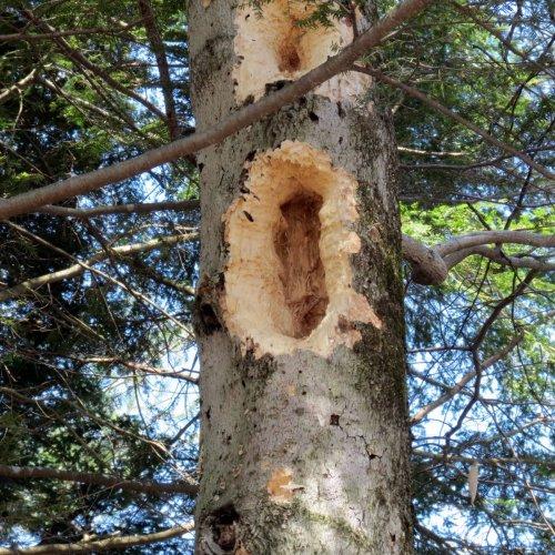 8. Pileated Woodpecker Hole