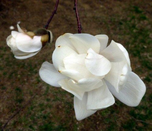 9. Magnolia Blossoms