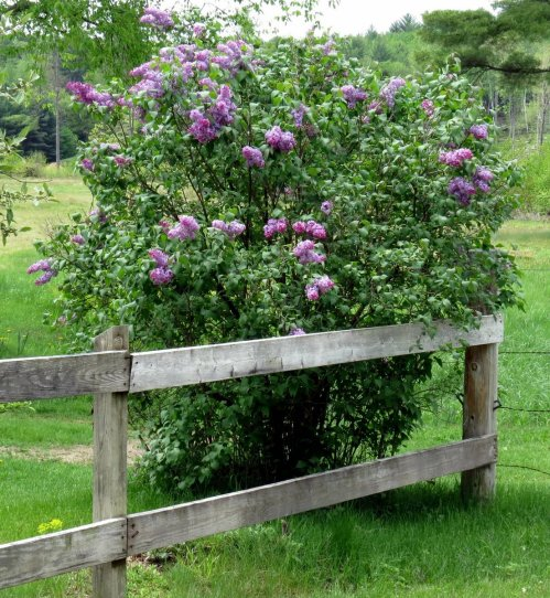 1. Lilac Bush