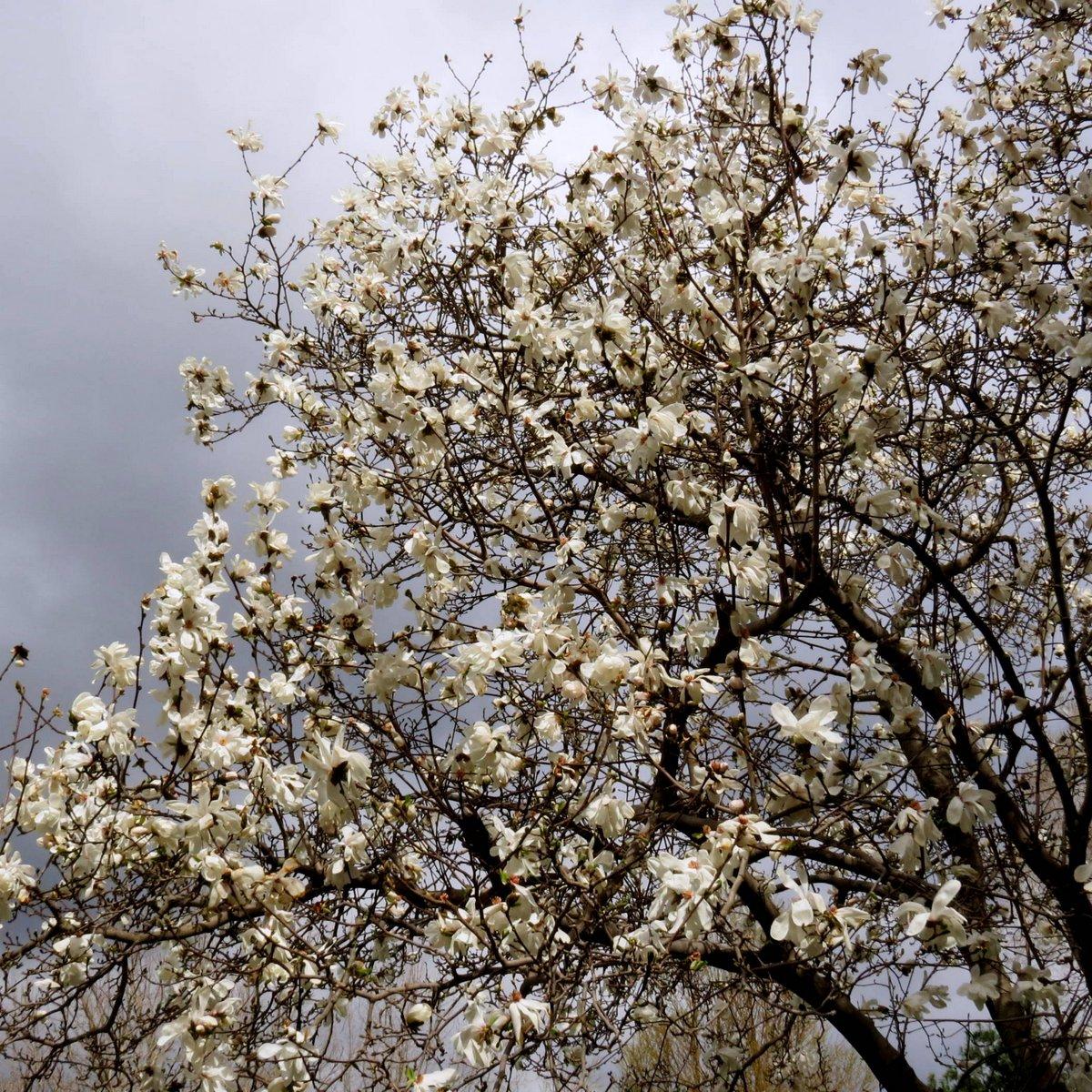 1. Magnolia Tree