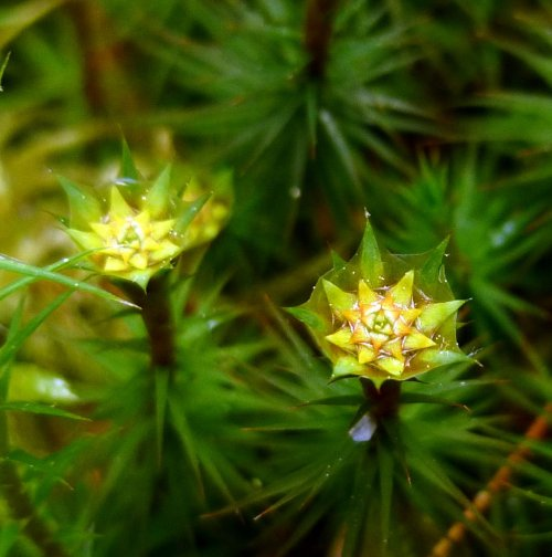 10. Juniper Haircap Moss Splash Cups