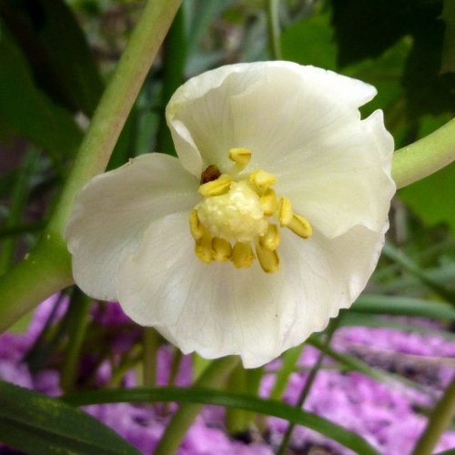 10. Mayapple Flower
