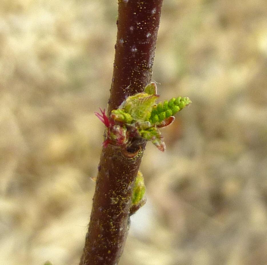10. Sweet Fern Female Flower