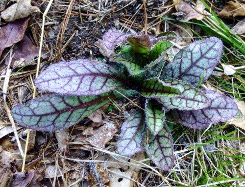 11. Rattlesnake Weed aka Hieracium Venosum
