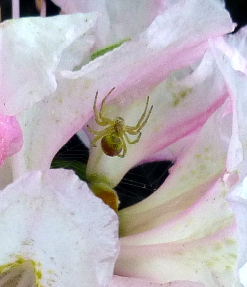 11. Spider on Rhody