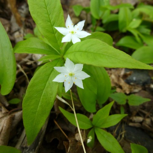 11. Starflower