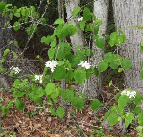 12. Hobblebushes