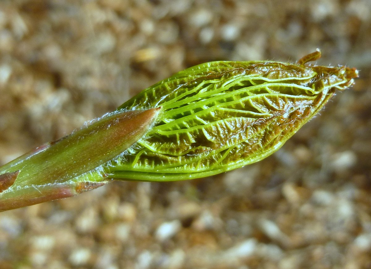 12. Sugar Maple Leaf Bud aka Acer saccharum