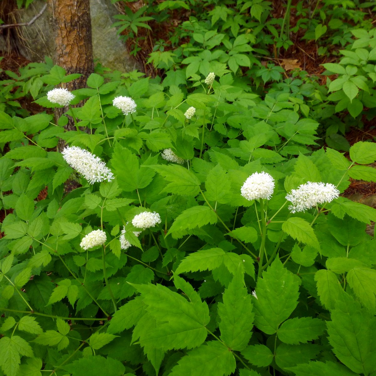 12. White Baneberry Plants