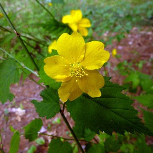 13. Kerria Blossom