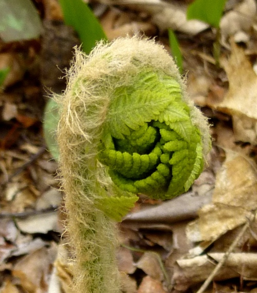 14. Cinnamon Fern Fiddlehead