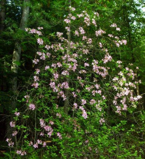 14. Native Azalea