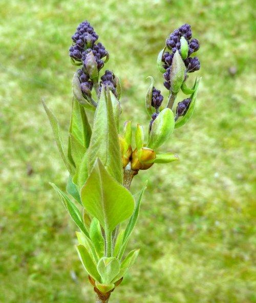 2. Lilac Buds