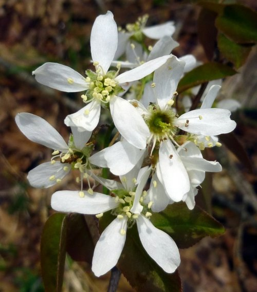 2. Shadbush Blossoms