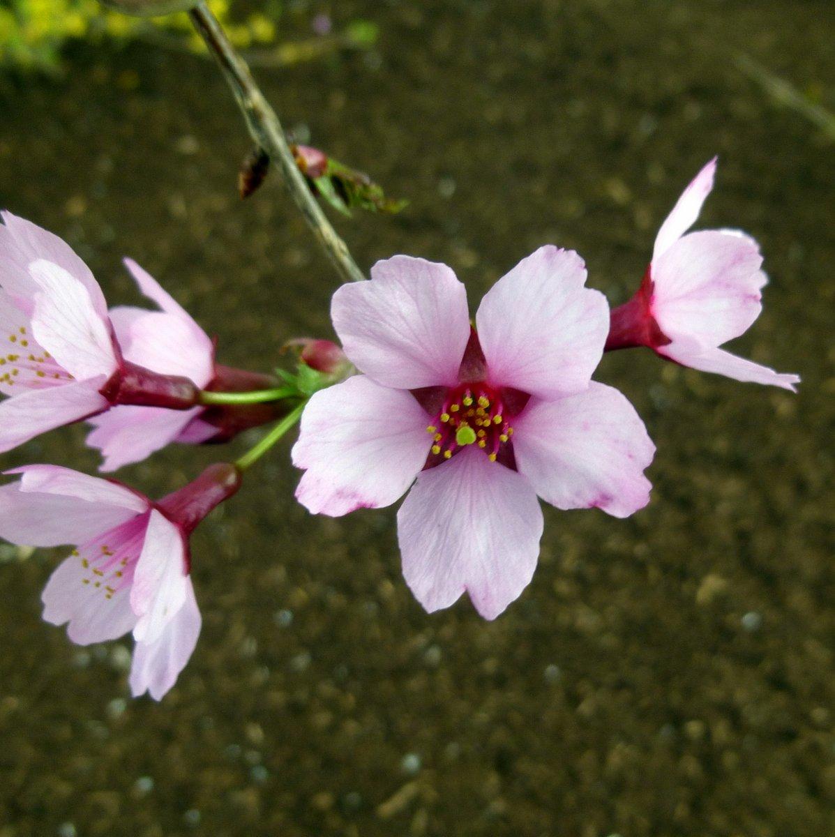 3. Cherry Blossoms