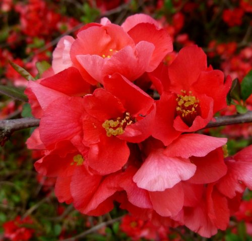3. Quince Blossoms