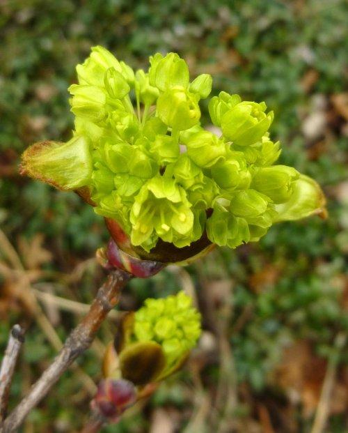 4. Norway Maple Flowers