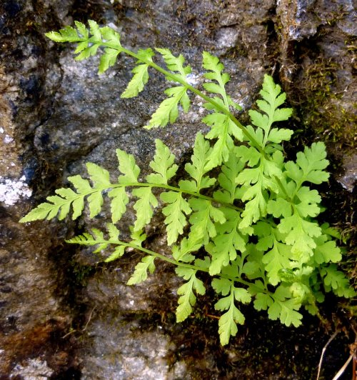 4. Possible Rattlesnake Fern
