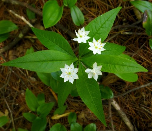 5. Four Flowered Star Flower