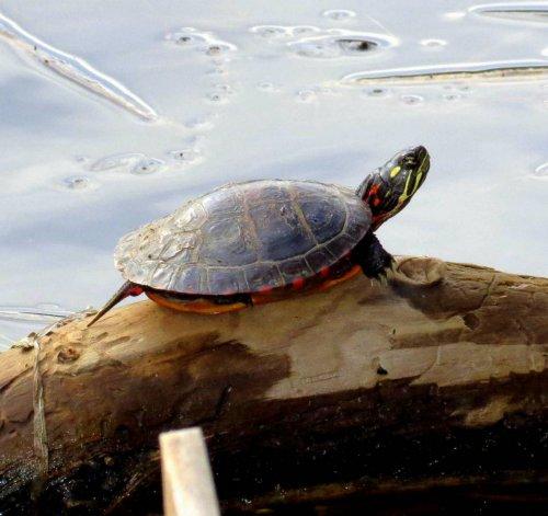 5. Painted Turtle