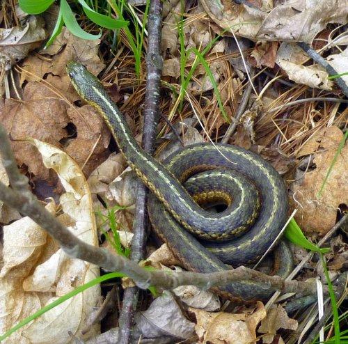 6. Garter Snake