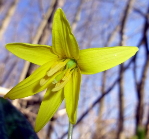 6. Trout Lily Flower