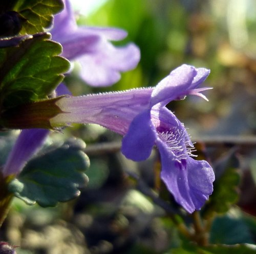7. Ground Ivy Blossom