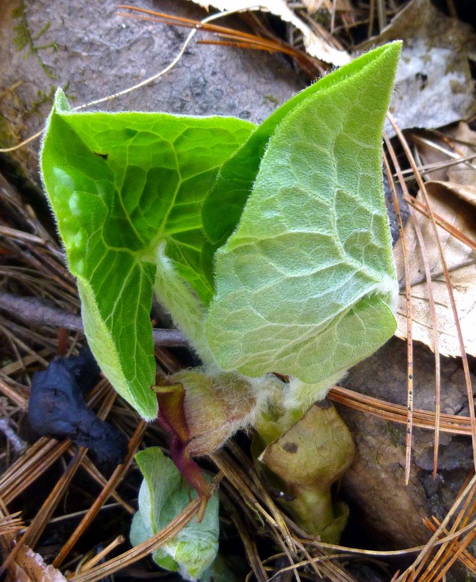 7. New Ginger Leaves