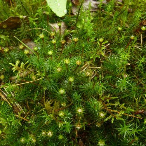9. Juniper Haircap Moss Splash Cups